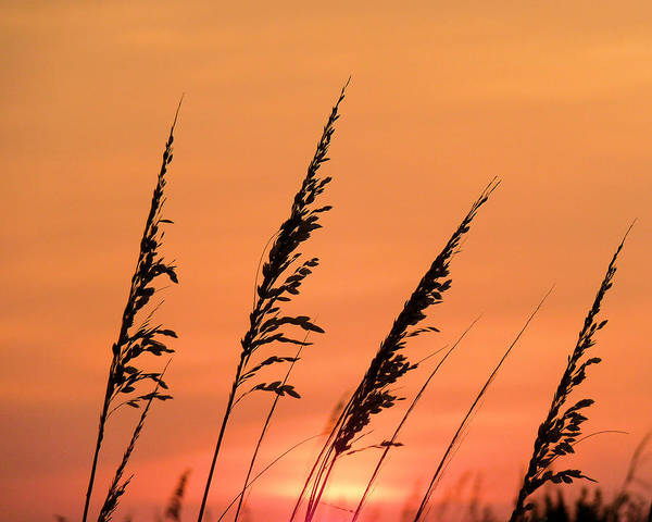 Wrightsville Beach Wall Art - Photograph - Sea Oat Sunset by JC Findley