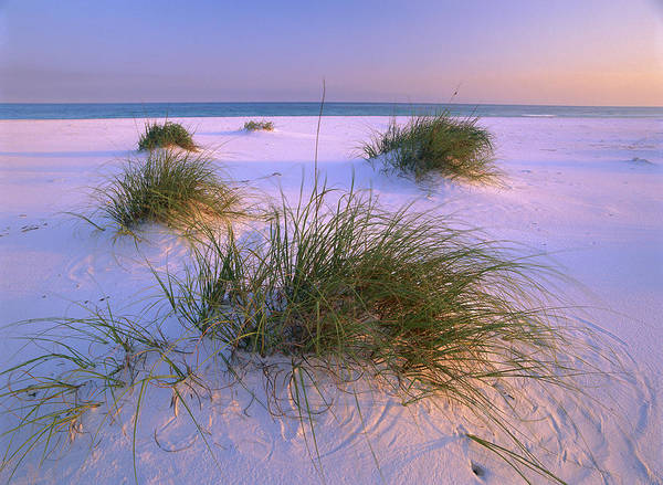 Photograph - Sea Oats Santa Rosa Island by Tim Fitzharris