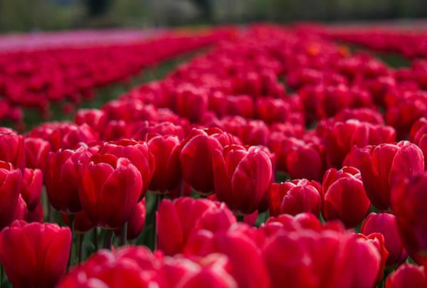 Photograph - Sea Of Red Tulips - Flower Art by Jordan Blackstone