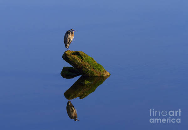 Great Blue Heron Wall Art - Photograph - Sea Of Tranquility by Mike  Dawson