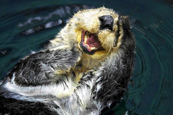 Photograph - Sea Otter  by Fabrizio Troiani