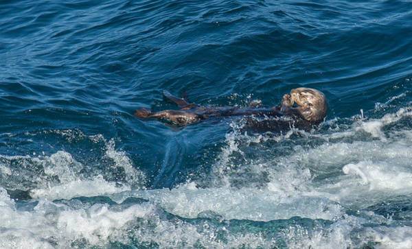 Photograph - Sea Otter by Kevin  Dietrich