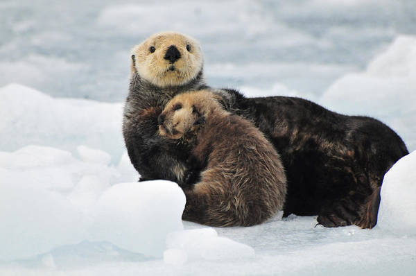 Laying Out Photograph - Sea Otter Mother And Pup Rest On An Ice by Bill Rome