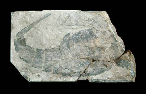 Canadian Fauna Photograph - Sea Scorpian Fossil by Natural History Museum, London/science Photo Library
