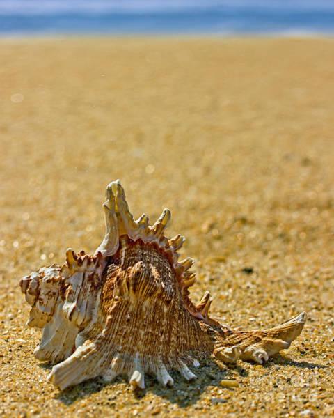 Three Seashells Photograph - Sea Shell By The Sea Shore by Tom Gari Gallery-Three-Photography