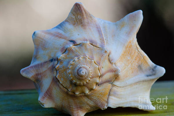 Photograph - Sea Shell by Dale Powell