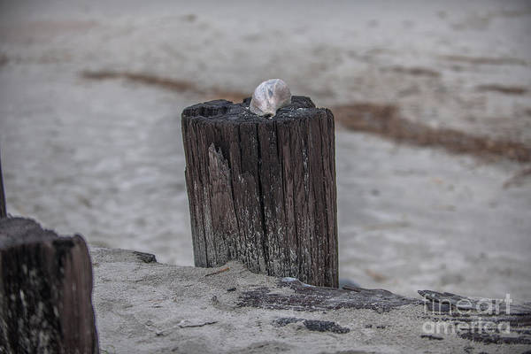 Photograph - Sea Shell Dreaming by Dale Powell