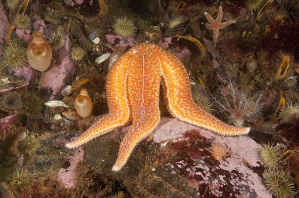 Northern Maine Wall Art - Photograph - Sea Star Feeding by Andrew J. Martinez