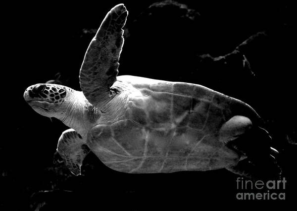 Photograph - Sea Turtle - Black And White by Carol Groenen