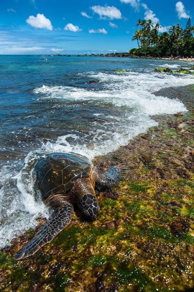 Photograph - Sea Turtle by Harry Spitz