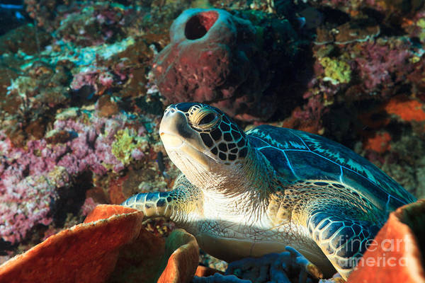 Wall Art - Photograph - Sea Turtle by MotHaiBaPhoto Prints