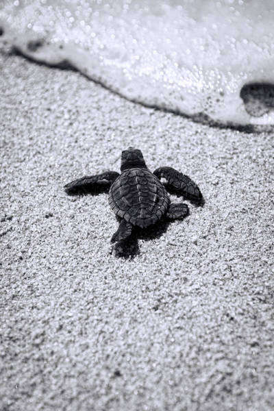 Photograph - Sea Turtle by Sebastian Musial