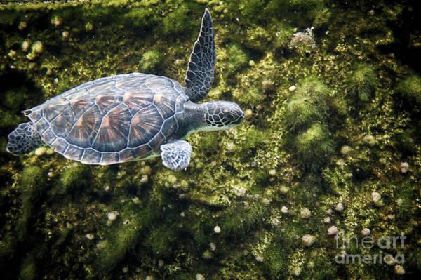 Photograph - Sea Turtle Swimming Along Edge by Dan Friend