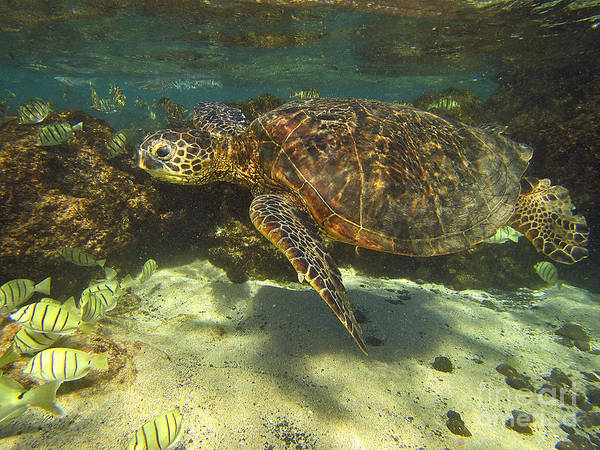 Photograph - Sea Turtle Swimming by Bette Phelan