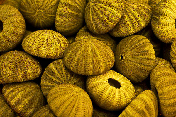 Photograph - Sea Urchins by Bill Barber