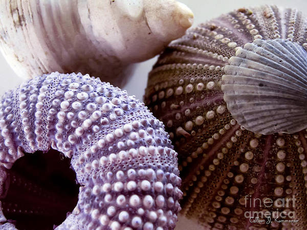 Mussel Wall Art - Photograph - Sea Urchins  by Colleen Kammerer