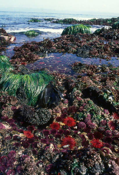 Wall Art - Photograph - Sea Urchins In The Pacific Northwest by Nancy Sefton