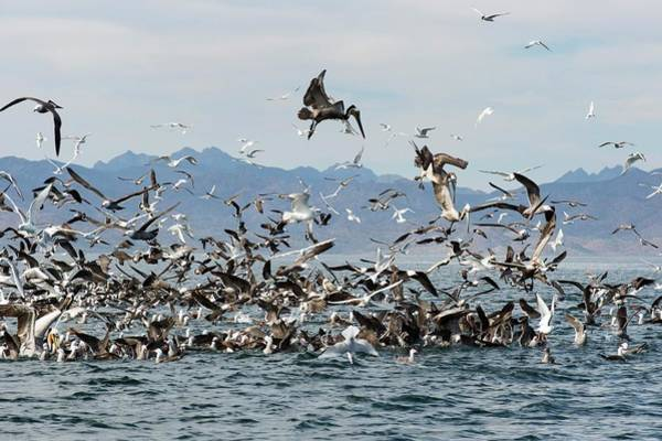 Elegant Tern Wall Art - Photograph - Seabirds Feeding by Christopher Swann
