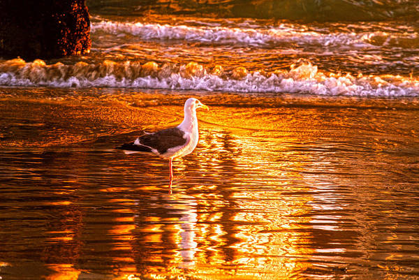 Seagul Reflects On A Golden Molten Shore Art Print