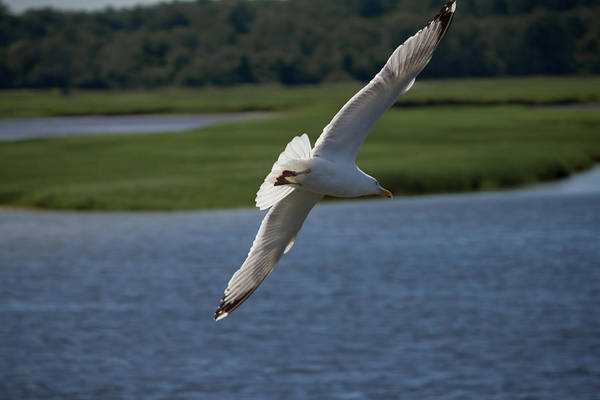 Photograph - Seagull Banking To The Left by Kirkodd Photography Of New England