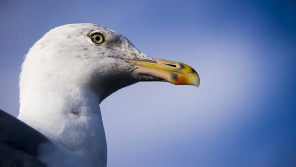 Photograph - Seagull - Cape Neddick - Maine by Steven Ralser