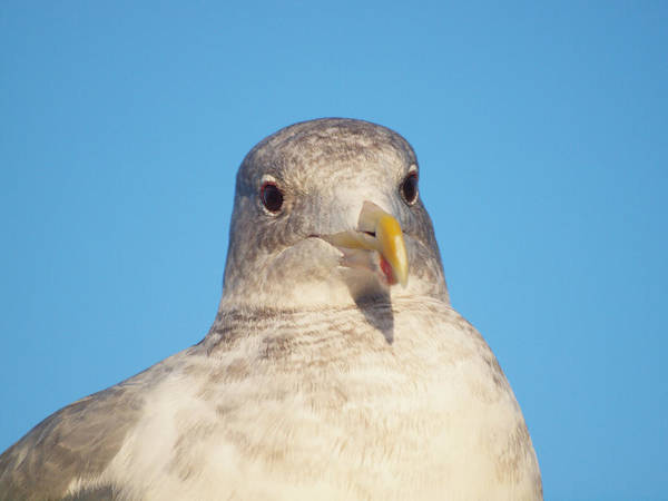 Photograph - Seagull Closeup by HW Kateley