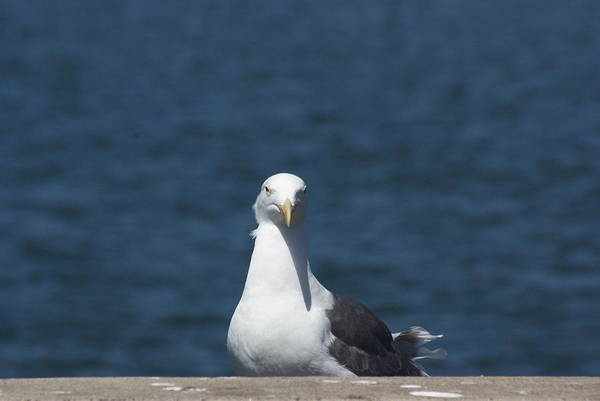 Photograph - Seagull by Dimitry Papkov