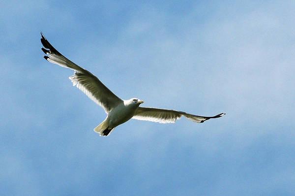 Photograph - Seagull by Dragan Kudjerski
