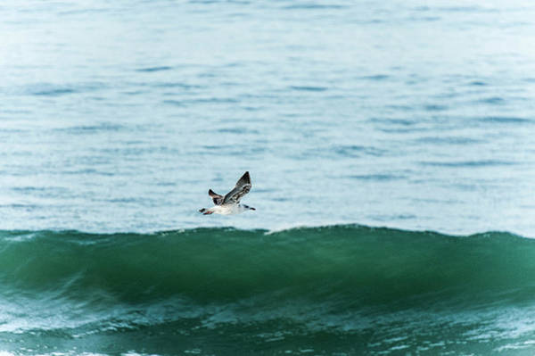 Vertebrate Photograph - Seagull Flying Above Wave, Tamraght by Daniel Reiter / Stock4b