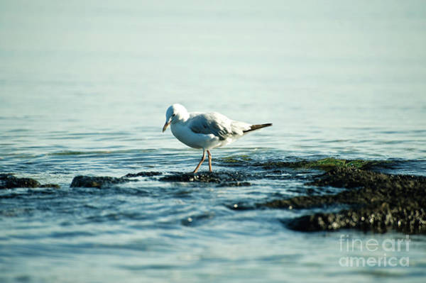 Photograph - Seagull Hunting by Yew Kwang