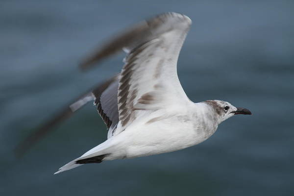 Conyers Photograph - Seagull In Flight 12 by Cathy Lindsey