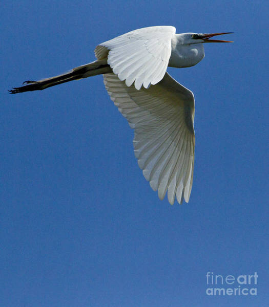 Coosa River Photograph - White Egret In Flight   #6770 by J L Woody Wooden