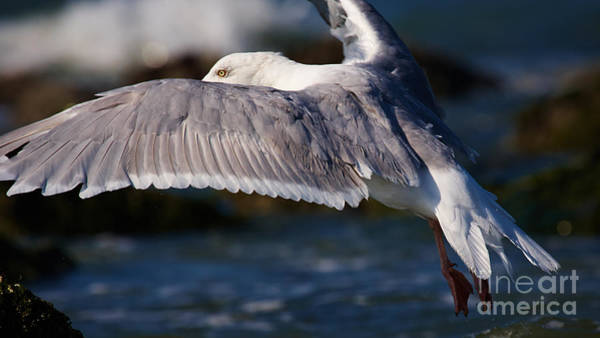 Photograph - Seagull In Flight  by Nick  Biemans