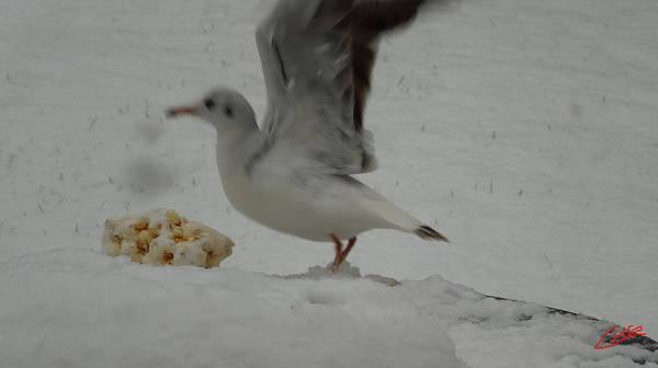Photograph - Seagull Landing01 Wintergarden 2013 Denmark by Colette V Hera  Guggenheim