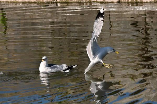Photograph - Seagull by Leif Sohlman