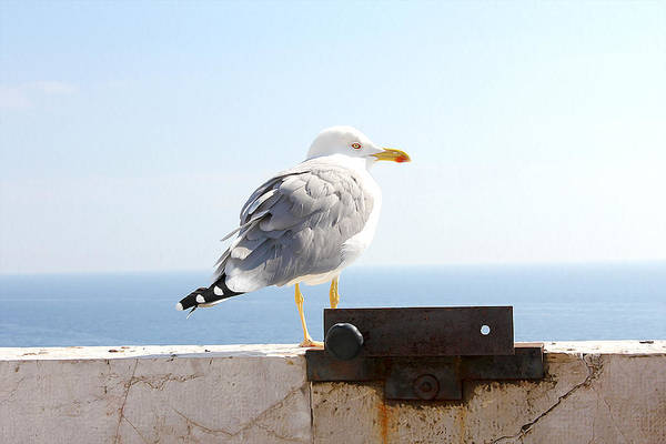 Photograph - Seagull by Meghan OHare