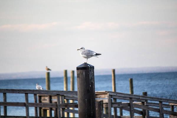 Photograph - Seagull On A Dock by Susan Jensen