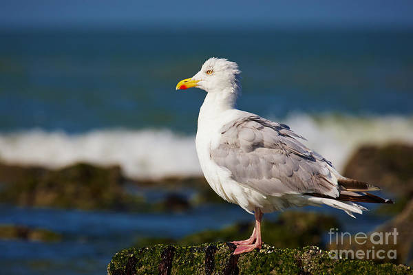 Photograph - Seagull On A Rock by Nick  Biemans