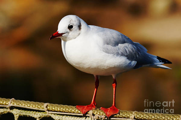 Photograph - Seagull On A Wire by Nick  Biemans