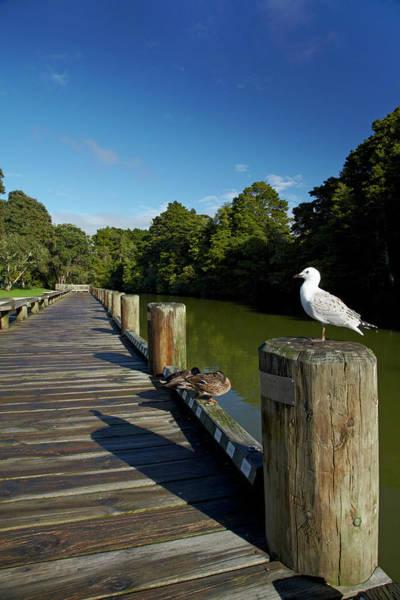 Auckland Photograph - Seagull On Boardwalk By Mahurangi by David Wall