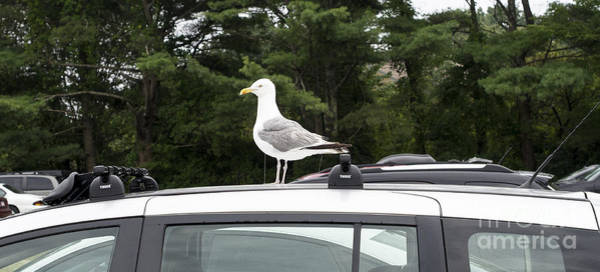 Photograph - Seagull On Car by Steven Ralser