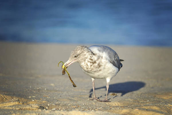 Photograph - Seagull by Terry DeLuco