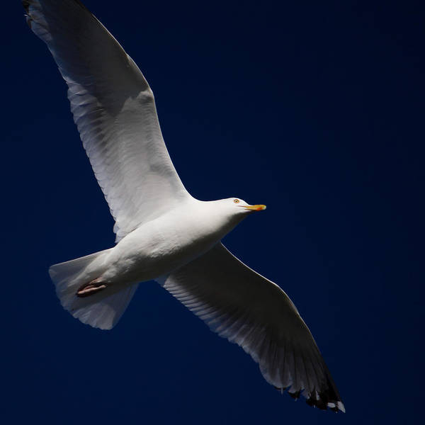 Photograph - Seagull Underglow by Kirkodd Photography Of New England