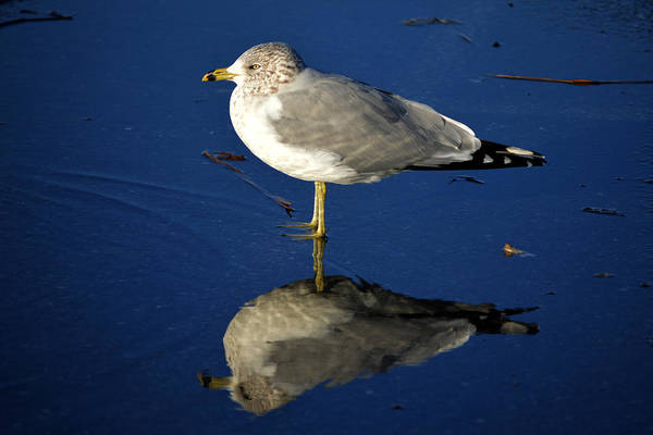 Photograph - Seagull Reflecting In Shallow Water by Bill Swartwout Photography