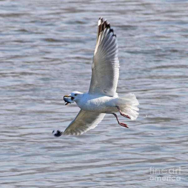 Wall Art - Photograph - Seagull With Fish 2318 by Jack Schultz