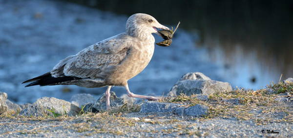 Photograph - Seagull With Lunch by Dan Williams