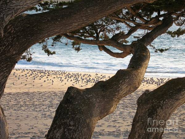 Photograph - Seagulls And Cypress by James B Toy