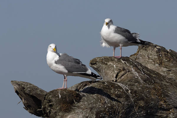 Photograph - Seagulls And Driftwood by Wes and Dotty Weber