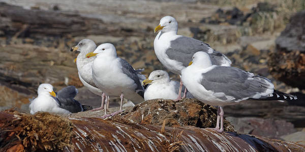 Photograph - Seagulls At Rest by Wes and Dotty Weber