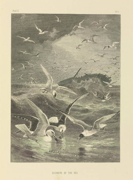 Wall Art - Photograph - Seagulls Feeding by Natural History Museum, London/science Photo Library